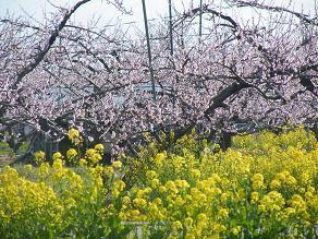 菜の花と桃の花.JPG
