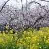 桃の花が満開です!!